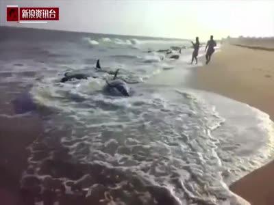 现场:印度近百头鲸鱼搁浅 45头命丧沙滩