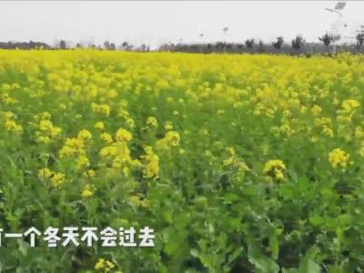 上海:油菜花已开,春天近在眼前! - 新华社客户端