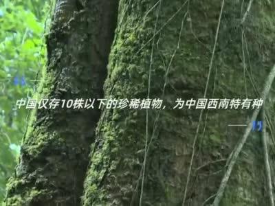 保山首次发现珍稀濒危植物滇桐野生种群