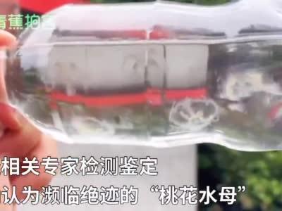 """水中""""活化石""""!上万只桃花水母现身四川彭山 珍贵度可媲美大熊猫"""