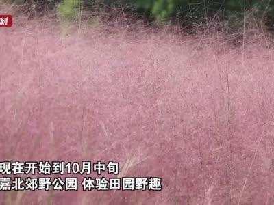 嘉北郊野公园25亩粉黛乱子草正在盛放 花期到10月中旬