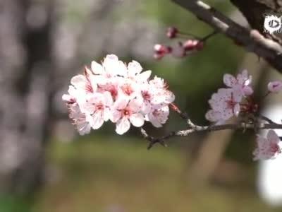 云南富源春花盛开 游客踏春赏花