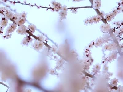 【视频】甘肃张掖:千亩杏花始盛开 烂漫春色醉游人