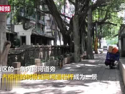 福州巨型古榕树根变成河道栏杆