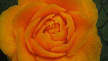 萝卜雕玫瑰花