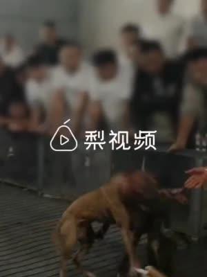 揭秘斗狗黑色產業鏈:牛肉阿膠重金養狗,血腥比賽收取門票